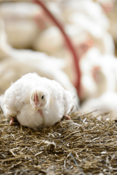 Prioritizing Animal Welfare: The Perdue Difference